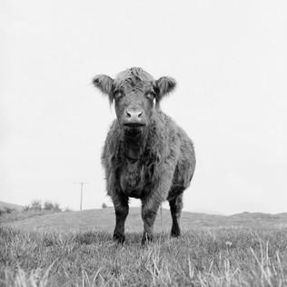 en ko från Skottland